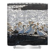 A Flock Of Gannets Standing On A Rock Shower Curtain by John Short