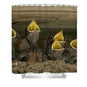 Barn Swallow Hirundo Rustica Chicks Shower Curtain by Cyril Ruoso