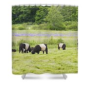 Belted Galloway Cows Pasture Rockport Maine Photograph Shower Curtain by Keith Webber Jr