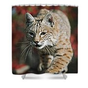 Bobcat Felis Rufus Shower Curtain by David Ponton