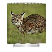 Bobcat Juvenile Santa Cruz California Shower Curtain by Sebastian Kennerknecht