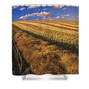 Canola Field, Tiger Hills, Manitoba Shower Curtain by Dave Reede