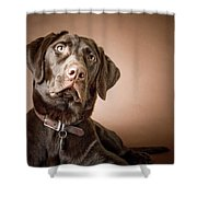 Chocolate Labrador Retriever Portrait Shower Curtain by David DuChemin