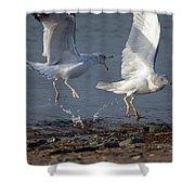 Fighting Gulls Shower Curtain by Karol  Livote