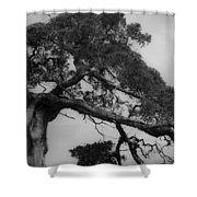 Gnarly Cedar Tree Shower Curtain by Teresa Mucha