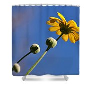 Golden Daisy On Blue Shower Curtain by Kaye Menner