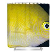 Golden Damsel Close-up, Papua New Shower Curtain by Steve Jones
