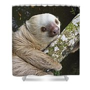 Hoffmanns Two-toed Sloth Costa Rica Shower Curtain by Suzi Eszterhas