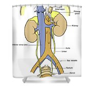 Illustration Of Female Urinary System Shower Curtain by Science Source