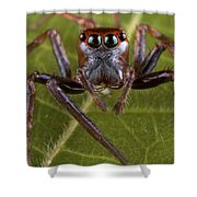 Jumping Spider Papua New Guinea Shower Curtain by Piotr Naskrecki