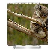 Koala At Work Shower Curtain by Bob Christopher
