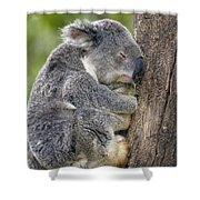 Koala Phascolarctos Cinereus Sleeping Shower Curtain by Pete Oxford