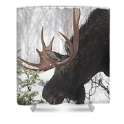 Male Moose Grazing In Winter, Gaspesie Shower Curtain by Philippe Henry