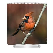 Male Northern Cardinal - D007813 Shower Curtain by Daniel Dempster