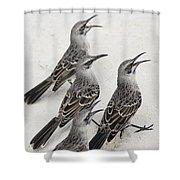 Mockingbirds Mimidae Galapagos, Equador Shower Curtain by Keith Levit