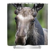 One Year Old Bull Moose With Growing Shower Curtain by Philippe Henry
