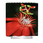Passiflora Vitifolia - Scarlet Red Passion Flower Shower Curtain by Sharon Mau