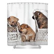 Pomeranian 3 Shower Curtain by Everet Regal