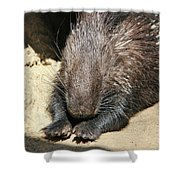 Resting Porcupine Shower Curtain by Mariola Bitner