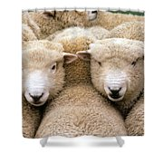 Romney Sheep Shower Curtain by Gregory G Dimijian and Photo Researchers