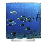 School Of Surgeonfish, Christmas Shower Curtain by Mathieu Meur