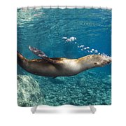 Sea Lion Blowing Bubbles, Los Islotes Shower Curtain by Todd Winner