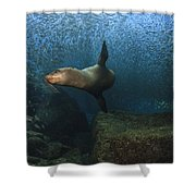 Sea Lion Chasing A School Of Bait Fish Shower Curtain by Todd Winner