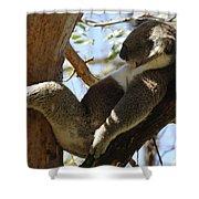 Sleeping Koala Shower Curtain by Bob Christopher