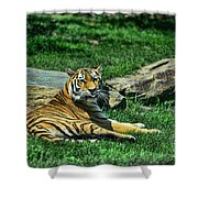 Tiger - Endangered - lying down - tongue out Shower Curtain by Paul Ward