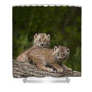 Two Canada Lynx Lynx Canadensis Kittens Shower Curtain by Richard Wear