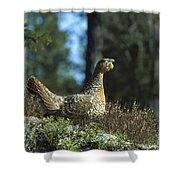 Western Capercaillie Tetrao Urogallus Shower Curtain by Konrad Wothe