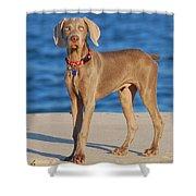 What - Weimaraner Puppy Shower Curtain by Angie Tirado