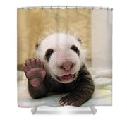 Giant Panda Ailuropoda Melanoleuca Cub Shower Curtain by Katherine Feng