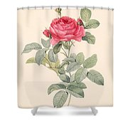 Rosa Gallica Pontiana Shower Curtain by Pierre Joseph Redoute