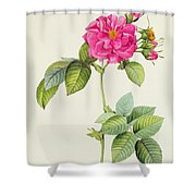 Rosa Turbinata Shower Curtain by Pierre Joseph Redoute