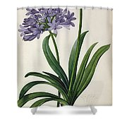 Agapanthus Umbrellatus Shower Curtain by Pierre Redoute