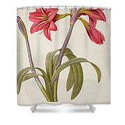 Amaryllis Brasiliensis Shower Curtain by Pierre Redoute