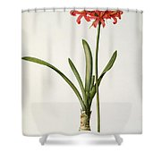Amaryllis Curvifolia Shower Curtain by Pierre Redoute