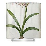 Amaryllis Vittata Shower Curtain by Pierre Redoute