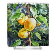 Apricots In The Garden Shower Curtain by Irina Sztukowski