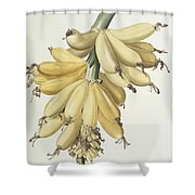 Bananas Shower Curtain by Pierre Joseph Redoute