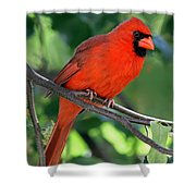 Cardinal Shower Curtain by Juergen Roth