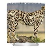 Cheetah Acinonyx Jubatus On Termite Shower Curtain by Winfried Wisniewski