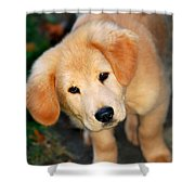 Curious Golden Retriever Pup Shower Curtain by Christina Rollo