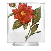 DAHLIA (DAHLIA PINNATA) Shower Curtain by Granger