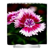 Dianthus Shower Curtain by Rona Black