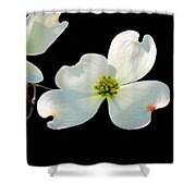 Dogwood Blossoms Shower Curtain by Kristin Elmquist