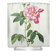 French Rose Shower Curtain by Pierre Joseph Redoute