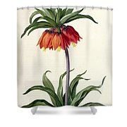 Fritillaria Imperialis Shower Curtain by Pierre Joseph Redoute