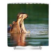Hippopotamus Shower Curtain by Johan Swanepoel